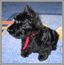 KiKoo at 10 weeks old. Yes, she is a Scottish Terrier!